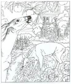 Whitetail Deer Coloring Pages Images &amp Pictures  Becuo sketch template