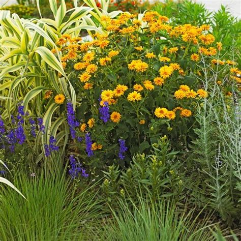 most difficult plants to grow 13 best heliopsis images on pinterest perennials fast