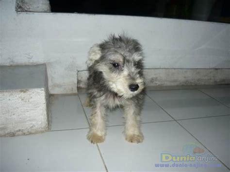 Anakan Arwana Murah dunia anjing jual anjing miniature schnauzer jual murah anakan miniature schnauzer