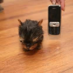 Smallest Cat In The World Guinness 2017 2020 other | images: smallest cat in the world guinness 2017