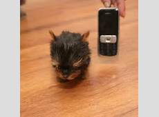 smallest cat in the world guinness 2017