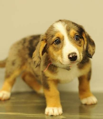 corgi australian shepherd mix puppies 35 best corgi mix images on