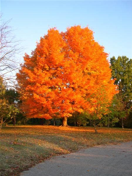 maple tree east acer saccharum sugar maple so pretty i wish i had one of these in my yard fall