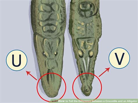 the difference between alligators and crocodiles how to tell the difference between a crocodile and an alligator