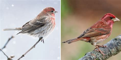 how to tell apart purple finches and house finches red