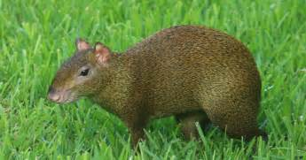 agouti color agouti animals amazing facts pictures the