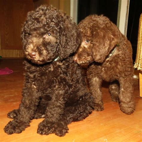 f1b labradoodle puppies for sale f1b labradoodle puppies for sale in washington summer 2014 aussiedoodle and