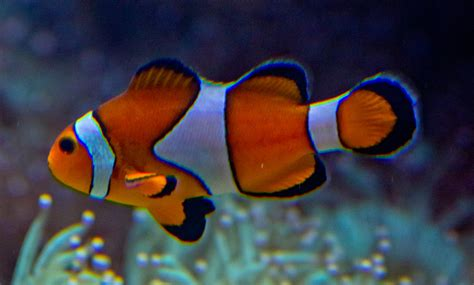 la chachipedia el pez payaso apexwallpaperscom pez payaso oceanografic valencia web oficial evita la
