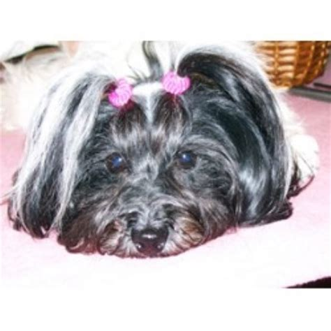 illinois havanese breeders havanese breeders in minnesota freedoglistings breeds picture