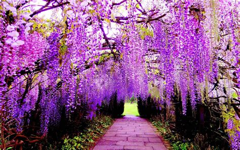 japan flower tunnel wisteria wallpapers wallpaper cave