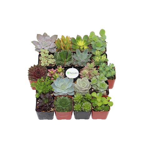 100 plant pots for sale yard art assortment flower shop succulents 2 in shop succulents assorted succulent