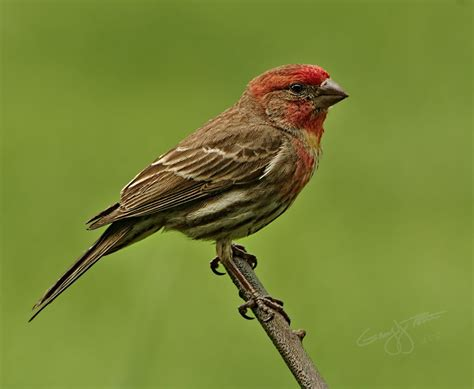 Perky Little Male House Finch Pentaxforums Com