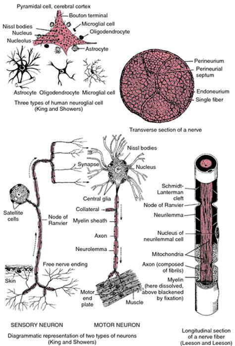 sensory motor and mixed nerves sensory nerve definition of sensory nerve by