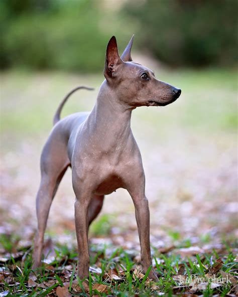 american kennel club dog breeds two new dog breeds inducted into the american kennel club
