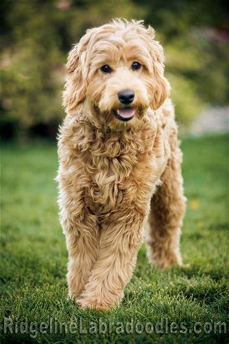 doodle labradoodles 25 australian labradoodle puppies you will fallinpets