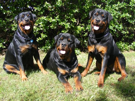 rottweiler hd pics rottweiler hd wallpapers