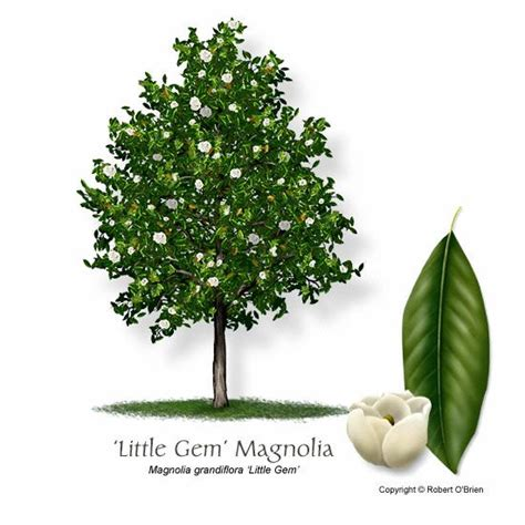 why does my little grem magnolia have dark brown leaves 1000 ideas about magnolia trees on magnolias flowering trees and dogwood trees
