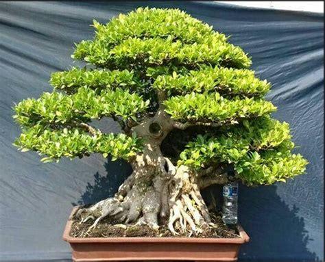 Lu Hias Klasik jenis bonsai yang satu ini merupakan jenis favorit mereka