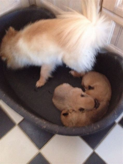 mini teacup pomeranian puppies tiny teacup pomeranian puppies available colchester essex pets4homes