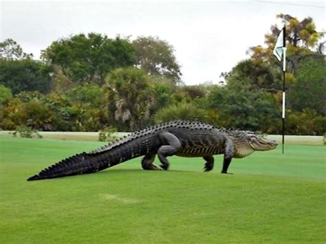 marlisse cepeda terrifying animal spotted roaming a florida golf course