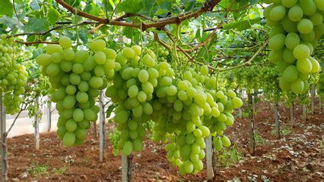 uva da tavola uva da tavola ecco come aumentare il potenziale produttivo
