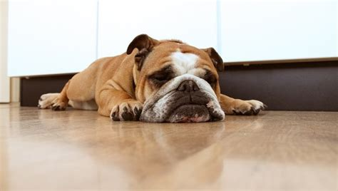 puppy sleeps a lot bulldog puppy sleeping www pixshark images galleries with a bite