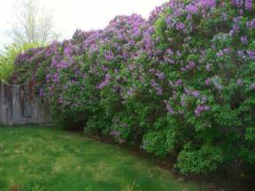 lilacs bush lilac bushes over 50 years old wow nature favorites pinterest mom spring and my mom