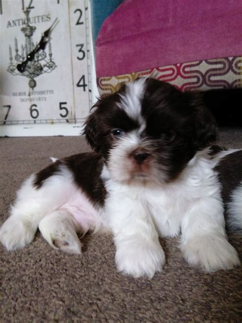 shih tzu puppies for sale in lancashire 2 beautiful shih tzu puppies for sale blackpool lancashire pets4homes