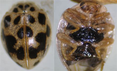 bed bugs black spots small black bugs with spots pictures to pin on pinterest pinsdaddy