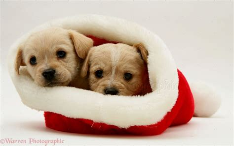 puppy with santa hat puppies in santa hats puppies puppy