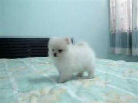 all white pomeranian white pomeranian puppy 超可爱狗狗白博美犬
