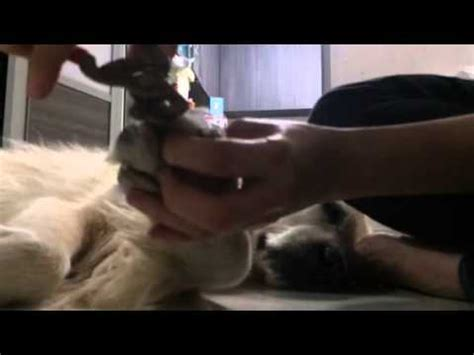 cutting golden retriever nails golden retriever nails cut
