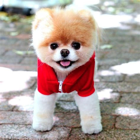 boo puppy boo the pictures popsugar pets