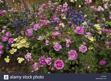 rose bed beautifully flowery rose beds and borders with anchusa
