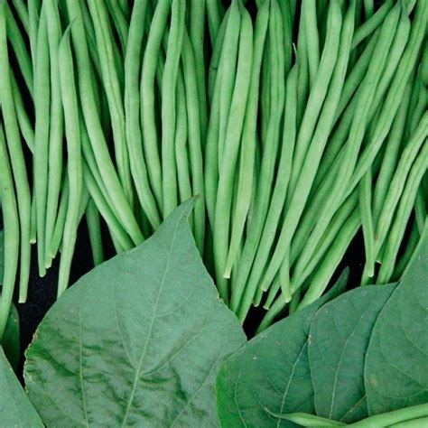 Recolte Haricot Vert by Graines Potag 232 Res Haricot Nain Recolte Machine Compass