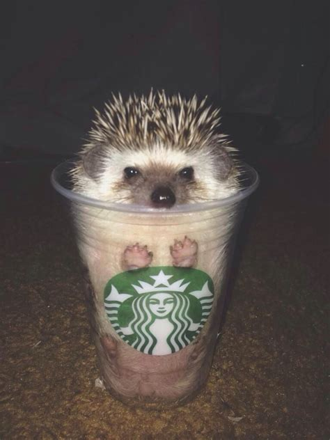 Hedgehog in a Cup   Fuzzy Today