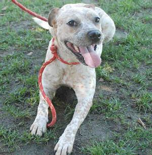 cattle pitbull mix queensland blue heeler pit bull mix breeds picture