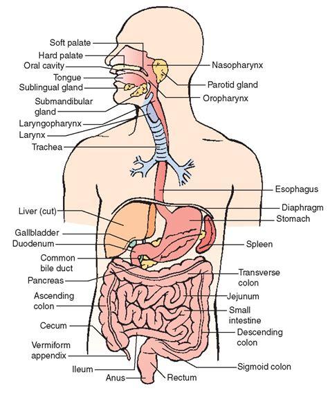 digestive system diagram quiz labeled digestive system diagram label digestive system
