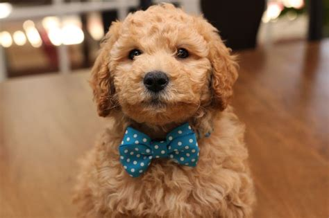 mini goldendoodles vermont 1000 images about mini goldendoodles 2015 on