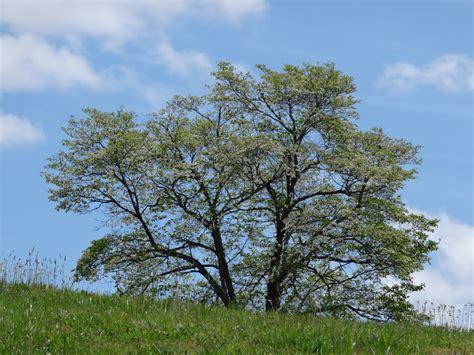 trees nc ten most common trees carolina cooperative extension