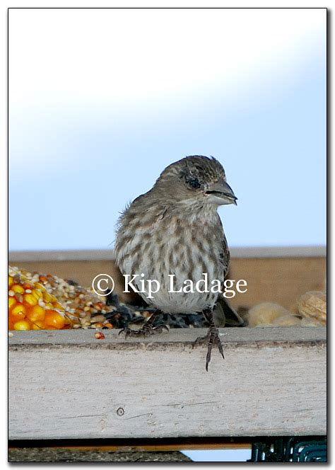 house finch conjunctivitis ladage photography photographs by kip ladage kip s