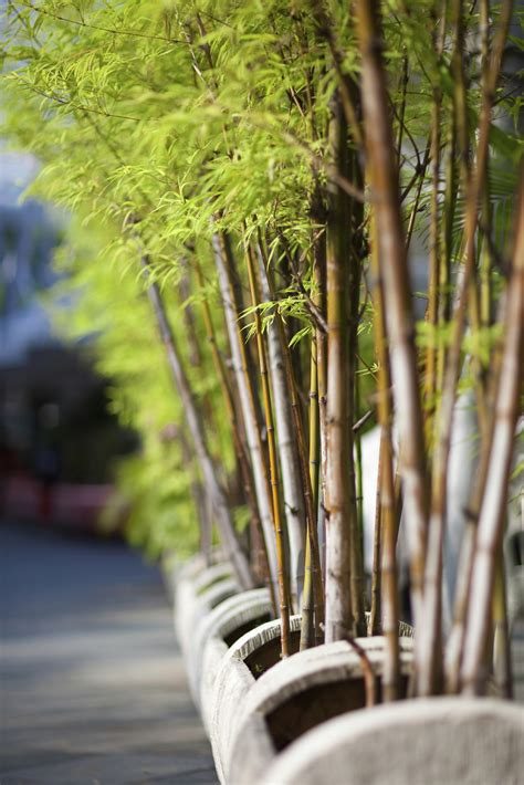 afraid to plant bamboo these varieties aren t invasive fast growing trees com