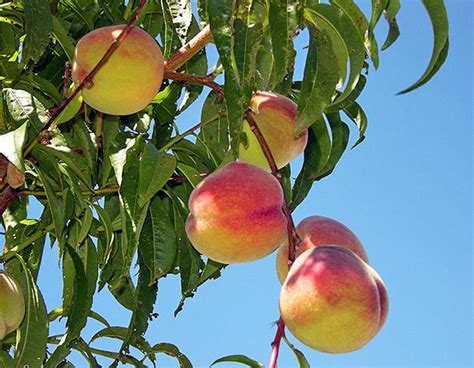 how to grow a fruit tree how to grow fruit trees for beginners the garden glove