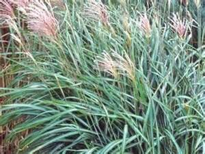 ornamental grasses and grass varieties hgtv