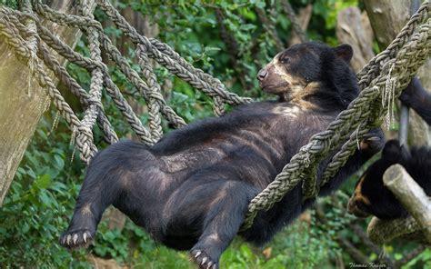 Bears In Hammock chkovy hammock humor wallpaper