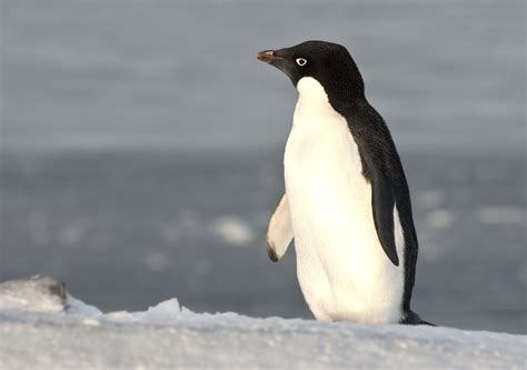 strong opinions the penguin giant iceberg decimates antarctic penguin colonies unsw