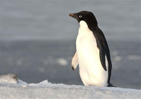 strong opinions the penguin 0141197196 giant iceberg decimates antarctic penguin colonies unsw newsroom