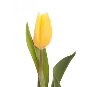 Types Of Garden Flowers - yellow tulips standard tulips tulips types of flowers flower muse