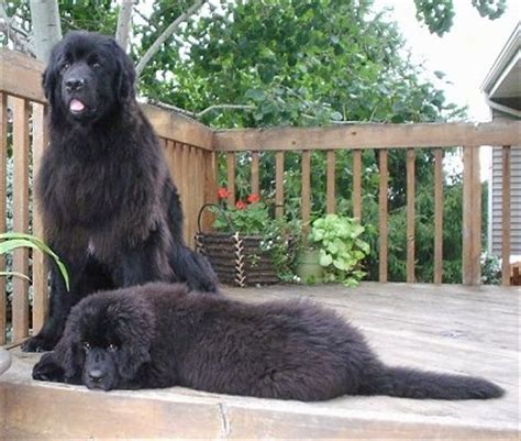 newfoundland puppies mn newfoundland breed pictures 1