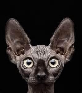 les chiens et chats nus des animaux fascinants garantis